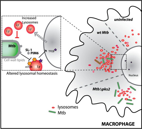 Mycobacterium tuberculosis (Mtb) lipid–mediated lysosomal rewiring in infected macrophages modulates intracellular Mtb trafficking and survival.